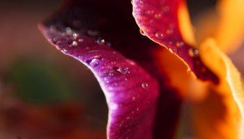 Delicate_Petals_by_lefthandgergo