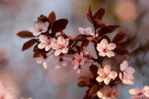 Fleurs de Prunus 24 by Jerome Boivin