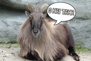 Stuffed_Arabian_Tahr-750x524