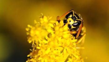 yellow bee on flower wallpaper