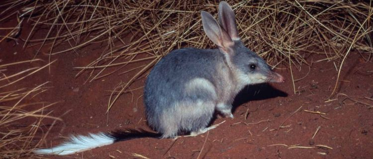 Greater bilby (Macrotis lagotis); Northern Territory, Australia